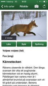 Här finns svaret på hur räven låter!