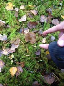 På den här bilden är inte bara två pekfingrar, utan två trattkantareller. Ser du båda svamparna?
